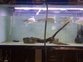 Vệ sinh bể cá rồng
