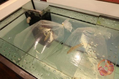 Thả cá vào bể