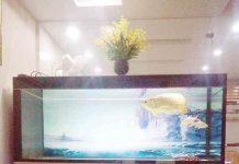 Bể cá rồng nuôi quá bối
