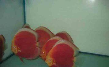 Red albino