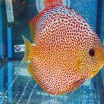Cá đĩa beo chấm bi đỏ