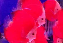 Cá đĩa đỏ red