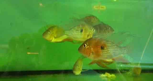 Cá Hải Hồ Đỏ