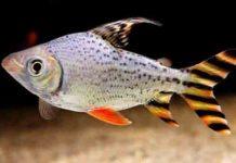 Cá Phi Phụng