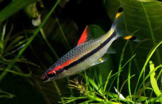 Cá Tên Lửa