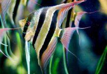 Cá Thần Tiên Ai Cập
