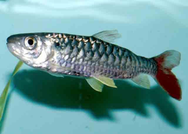 Cá Thủy Lôi