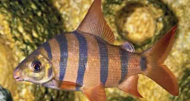 Cá Vương Miện