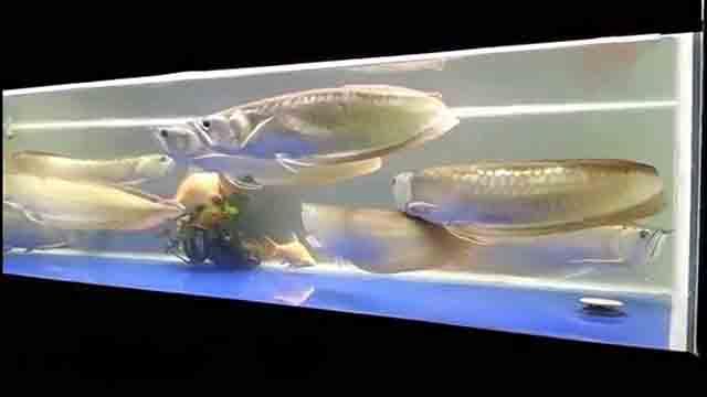 Cá rồng ngân long sống cộng đồng